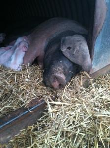 piglets 023