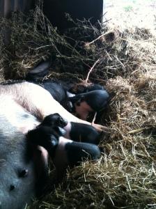 piglets 011
