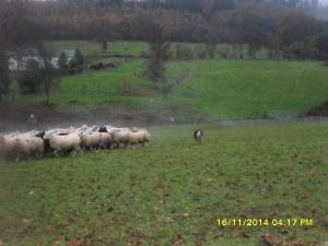 sheep dg 2